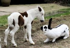 """Minature Horse Foal: """"Have you seen my Mama?""""  Rabbit: """"What? No."""""""