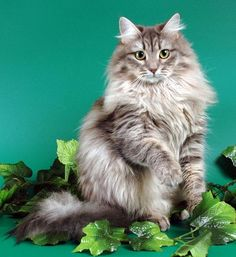 Siberian cat (55 pictures) (9)                                                                                                                                                                                 More