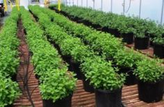 Using wastewater to enhance mint production -- ScienceDaily.  Researchers have discovered that residual distillation water of some aromatic plant species has a beneficial effect on yield and can increase essential oil content in mint crops. A study of the effects of three plant hormones and residual...