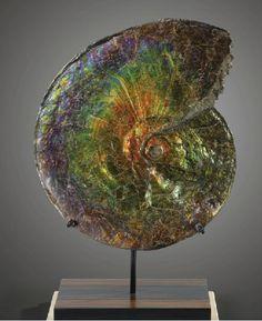 Ammonite Fossil, Alberta Canada  Sothebys, Natural History, Paris, Oct 12th