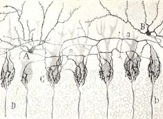 Online gallery of Ramon y Cajal's amazing drawings of neurons and brain structures