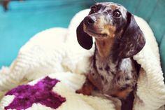 cute little black-and-tan dapple dachshund!