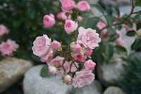 Pink The Fairy  The Fairy rose også kendt under navnene Feerie, Féérie og Perle Rose. Forædlet af Bentall i 1932. Introduceret af Star Roses i 1941.    Rosen The Fairy har mørkt skinnende løv og lys pink.    Rosa The Fairy er lav middelvoksende ( 50 - 100 cm høj og omkring 75 cm i omkreds). Blomster fra juni til november. Velegnet til afskærring.    The Fairy roser er fuldt hårdfør og velegnet til parkanlæg og haver. Vokser bedst i nærigsrig havejord. Kraftig gødning anbefales.