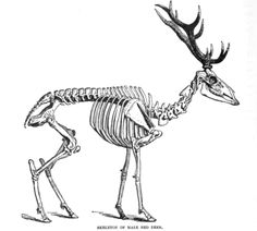 Red deer skeleton (Cervus elaphus) from: Royal Natural History Volume 2 by Richard Lydekker