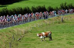 2002 rit 7 > A cow watches the pack as it rides past during the 7th stage of the Tour de France between Bagnoles-de-l'Orne and Avranches, Normandy in 2002