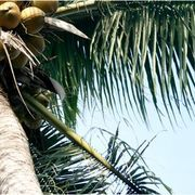 How to Grow Coconut Trees in Florida | eHow
