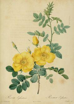 "Pierre-Joseph Redouté - Rosa Eglanteria from ""Les Roses"". Antique botanical rose illustration."
