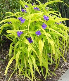 "Tradescantia ""Sweet Kate"" - Sweet Kate is an easy-to-grow perennial that produces a profusion of unusual deep-blue flowers from summer to fall. An eye-catching accent for the border, the vibrant golden-yellow foliage is the perfect foil for its bloom and a bright companion for purple-foliaged plants. Height - 18 Inches Spread - 12-18 Inches Bloom Color - Blue/purple (Dry shade garden)"