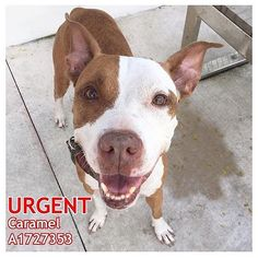 WEBSTA @ urgentdogsofmiami - This sweet face! ??Caramel is as sweet as her name! Very friendly and loving! Caramel is READY TO GO HOME, to be your best friend forever!-Caramel #A1727353 is anlabeled american bulldog, spayed. She has been at the shelter since Oct 20 2016.-75 DAYS AT THE SHRLTER????OWNER SURRENDER????-Please click the ID hashtag # above to see more photos and videos of this pet.-The shelter has over 500 pets waiting to be adopted, rescued or fostered. Please save a…