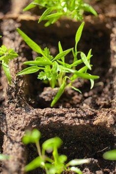 Co všechno v dubnu stihnete vypěstovat ze semínek, a jak na to - iDNES. Herbs, Plants, Gardening, Lawn And Garden, Herb, Plant, Planets, Horticulture, Medicinal Plants
