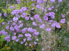 Thalictrum delavayi 'Hewitt's Double' - it is like an explosion of tiny purple flowers --- I LOVE meadow rue!