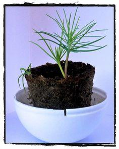 Maritima Pine Tree growing kit ForestNation You plant one We plant one #imagineforestnation