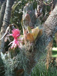 Aechmea fasciata - epiphyte
