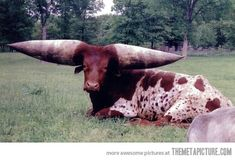 This animal is a Watusi bull from Africa. These unusual creatures are know for their extremely large horns.