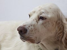 Another English Setter