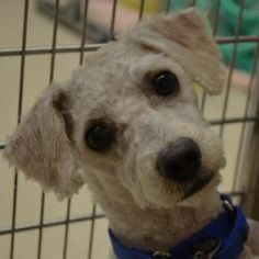 Meet Foofy, an #adoptable Bichon Frise at A.D.O.P.T. Pet Shelter in #Naperville #ILLINOIS ....... A.D.O.P.T. Pet Shelter -- from their pinterest board -- ADOPTable Dogs