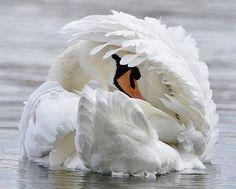 Mute Swan (Cygnus olor) by Jadwiga Dabrowski. Beautiful Swan, Beautiful Birds, Animals Beautiful, Animals And Pets, Baby Animals, Cute Animals, All Birds, Love Birds, Cygnus Olor