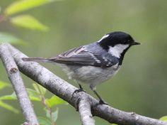 Periparus ater/Coal tit/ヒガラ/resident bird