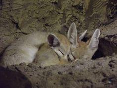 Foxes :D
