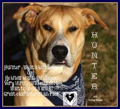 **HUNTER** URGENT**HAS BEEN AT SHELTER WAY TOO LONG**1 YR OLD**VERY HANDSOME!**OUT-OF-STATE TRANSPORT OPTIONS ARE AVAIL**VISIT SHELTER PAGE   **IAS Irving, TX  ♥ 1 y/o M retriever-x 70lbs O/S ID 18791868 ♥   ♥ CHIPIN TO HELP HERE: http://irvingshelterdogs.chipin.com/hunter-id-18791868  IRVING ANIMAL SHELTER, TEXAS  972-721-2256 OR 972-721-3597  THANK YOU, DANA