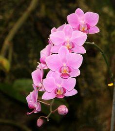 orquidea rosadas