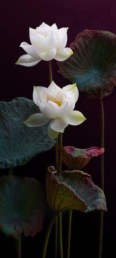 White Lotus Flowers ~ Ana Rosa
