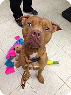 Cleveland, OH - Pit Bull Terrier Mix. Meet Charleston-Urgent!!, a dog for adoption. http://www.adoptapet.com/pet/11710353-cleveland-ohio-pit-bull-terrier-mix