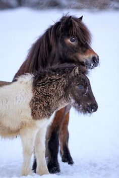 Horses for sale - Shetland Pony Horse Russia Pony For sale Poni prodazha Horses In Snow, Tiny Horses, Horses And Dogs, Show Horses, Most Beautiful Animals, Beautiful Horses, Pretty Horses, Horse Love, Baby Animals Pictures
