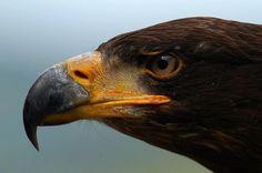 águia.  olhos de águia.