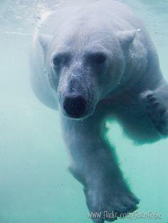 "Swimming Polar Bear by ""Fotofobic"" (no real name given)"