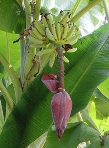 Ice Cream Banana Tree for Sale