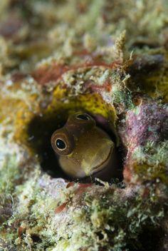 13 best blenny images marine fish ocean creatures underwater