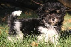 Havanese breed information. Get answers to questions about Havaneses - NextDayPets.com