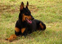 Doberman - As 10 raças de cachorros mais perigosas do mundo