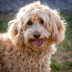 Our beautiful Kassi Rose will steal your heart All Things Cute, Goldendoodle, Labradoodles, Dogs, Animals, Group, Beautiful, Heart, Animales