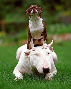 Uplifting So You Want A American Pit Bull Terrier Ideas. Fabulous So You Want A American Pit Bull Terrier Ideas. Cute Puppies, Cute Dogs, Dogs And Puppies, Doggies, English Bull Terriers, Bull Terrier Dog, Animals And Pets, Funny Animals, Cute Animals
