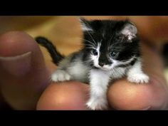 World's Smallest Cats & Cat Breeds 2016 - YouTube