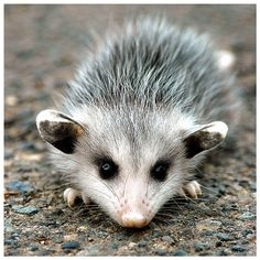 opossum hanging upside down - Google Search