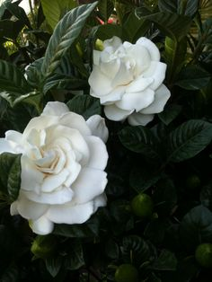 Breathe in the wonderful fragrance of the beautiful & charming Gardenia.  http://www.facebook.com/pages/American-Plant/111708498851820  http://americanplant.net/index.php