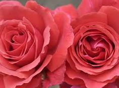 Google Image Result for http://www.wallpick.com/wp-content/uploads/2013/12/19/Cute-Pink-Roses-Wallpaper.jpg