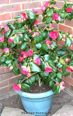Camellia Plant Care - How Camellia Plants are Making the Garden a Better Place Camellia Plant, Plant Diseases, Garden Shrubs, Plant Care, Stems, Home And Garden, Bloom, Leaves, Gardening