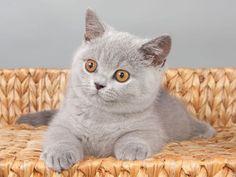 Katzenmodel: Britisch Kurzhaar beim posieren — Bild: Shutterstock / Irina Zhuravlova    www.einfachtierisch.de