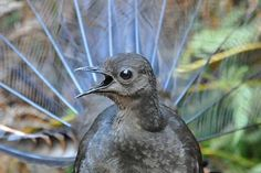 Lyrebirds are renowned mimics — their impersonations of other birds can fool even the species they're copying, and they can replicate mechanical sounds from a chainsaw to a camera shutter too. Pretty Birds, Love Birds, Beautiful Birds, Tasmania, Maluku Islands, Bird Gif, Unusual Flowers, Australian Birds, Sound & Vision