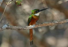 Rufous-tailed Jacamar (Galbula ruficauda) A male perched on a branch