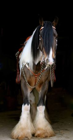 •♥•✿ڿڰۣ(̆̃̃•Aussiegirl #Horses Gypsy cob, beautiful!