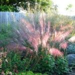 xeriscape water wise plants muhly grass side yard on fence