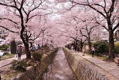 """ここはかの有名な""""銀閣寺""""へのルートであって、春には桜、秋には紅葉が川の左右にひしめく京都でも有名なスポットでございます。"""