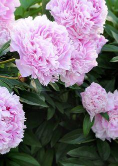 Sarah Bernhardt on suosituimpia kiinanpioneja. Sen suuret kukat tuoksuvat makeasti, ja runsaina ne ovat näyttäviä ja kestäviä leikkokukkia. / Sarah Bernhardt are one of the most beautiful peonies.  Kuva/pic: Sari Tammikari