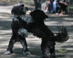 Tibetan Terriers Playing   by thewentworths1