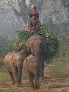 Amazing! Elephants can now be domesticated and used as beasts of burden, as being used by Indians here.